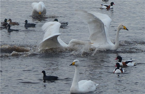 Whooper chase