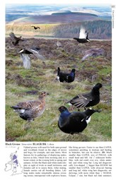 crossley blk grouse