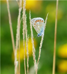 Silver studded Blue 1