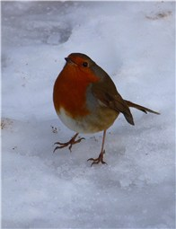 Norfolk Robin