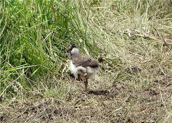 Lapwing chick on the move