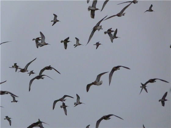 Curlew sky full