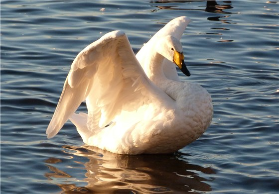 Whooper Swan whole