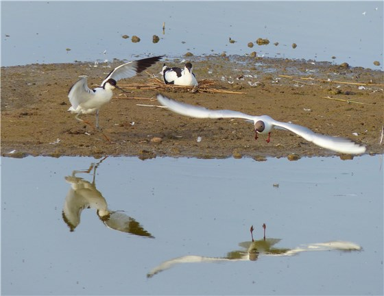 Avocets and Black headed Gulls Minsmere