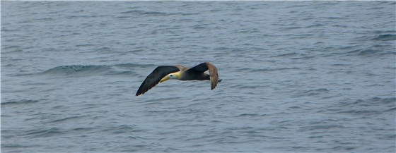 Waved Albatross 2 sea