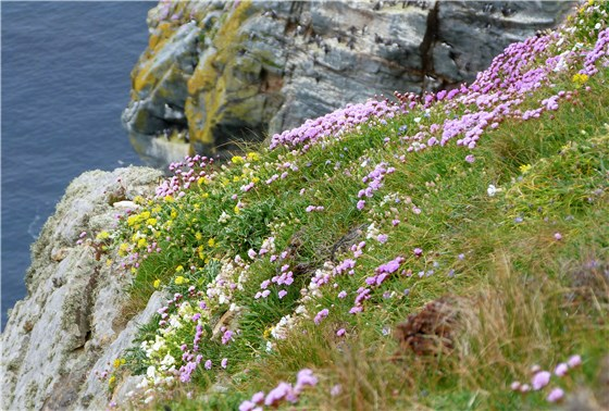 South Stack Flowers 2
