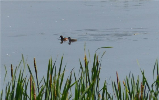 Black necked grebe 1 WE
