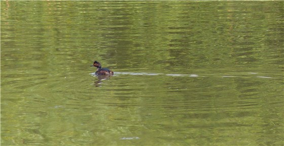 Black necked grebe 8 WE