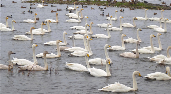 Whooper Swans at Martin Mere WWT