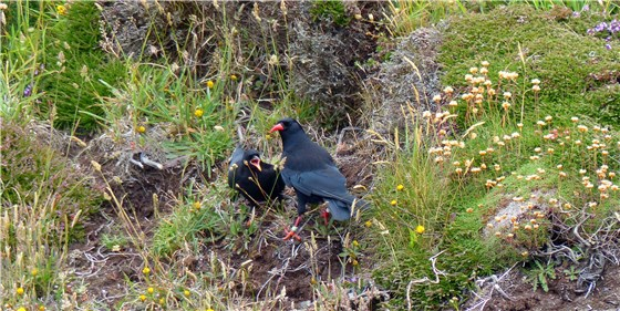 Chough adult and juvenile