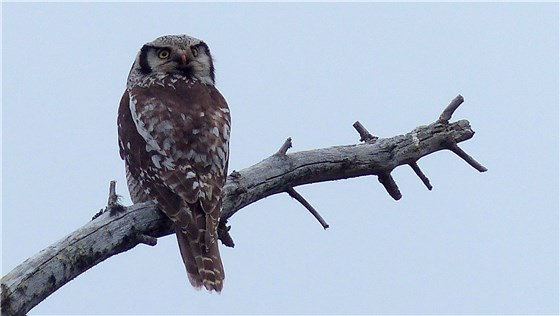 Hawk Owl adult 3