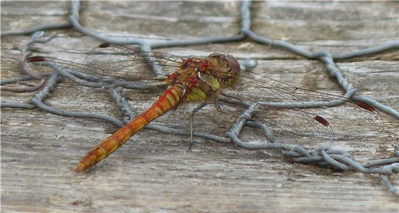 Hickling Broad Bellied Chaser Female