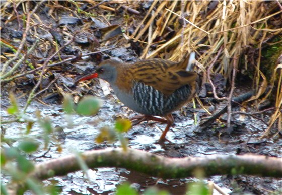 Norfolk Water Rail
