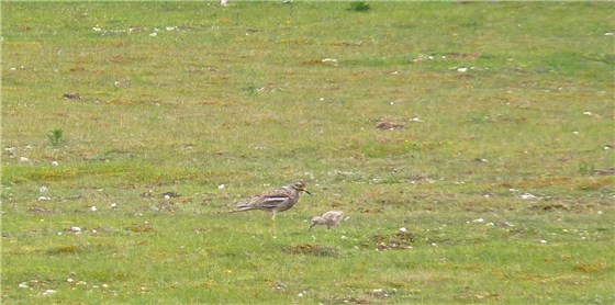 Stone Curlew adult and chick