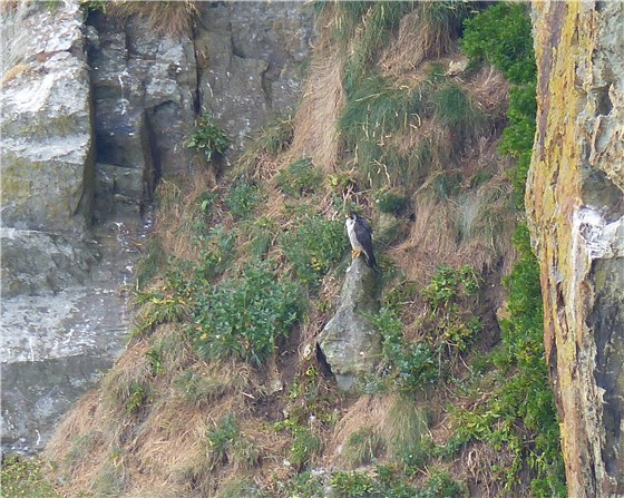 Peregrine South Stack