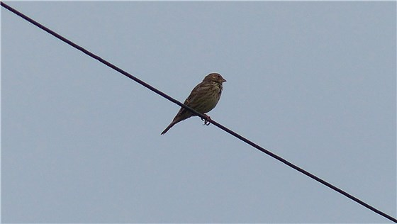 Corn Bunting on wire