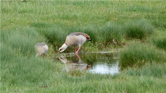 Egyptian Geese x 2