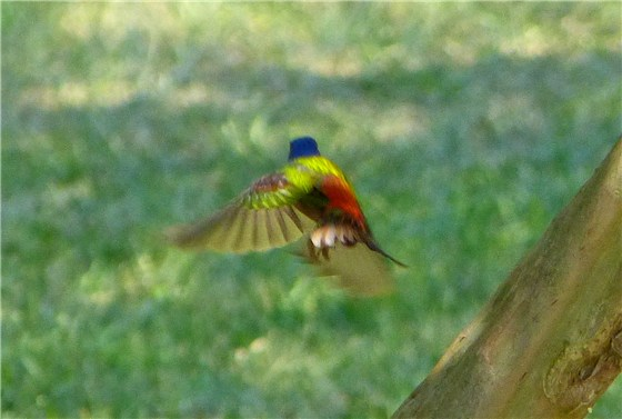 Painted Bunting 1