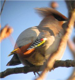Waxwing Holt