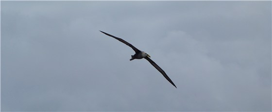 Waved Albatross in flight 1