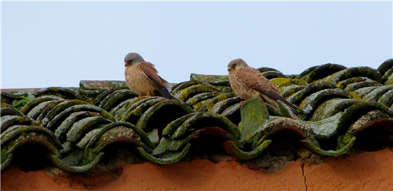 L Kestrel pair trim