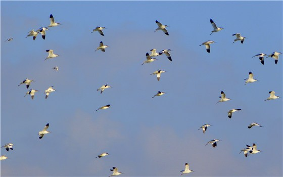 Avocets flight
