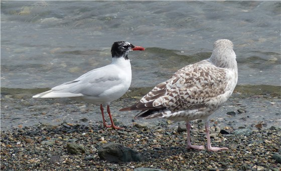 Med Gull and Herring Gull