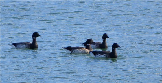Brent Geese x 4