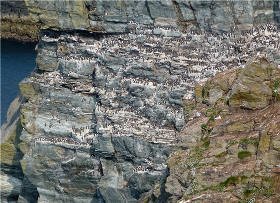South Stack seabird colony