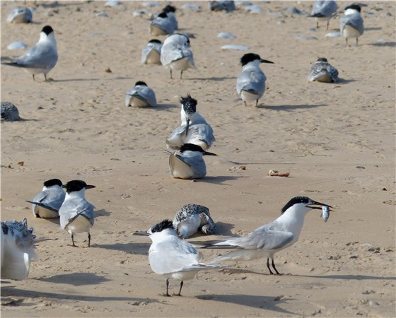 Sandwich Terns Blakeney Pt July 2014