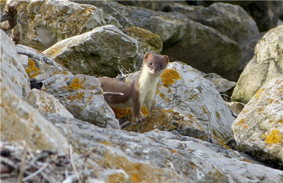 Stoat a