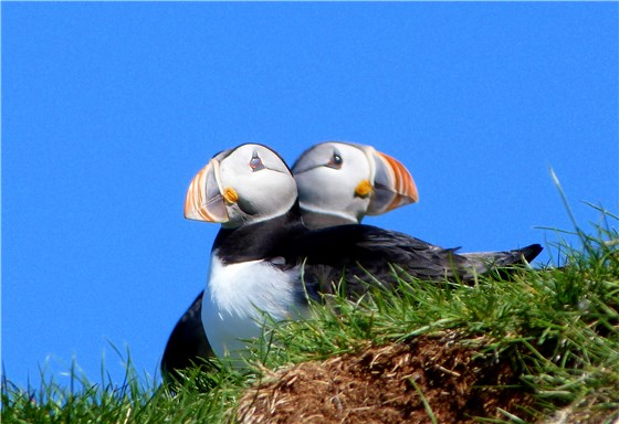 Two headed Puffin