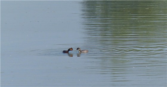Black necked grebe 4 WE