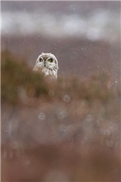 Short eared Owl BB