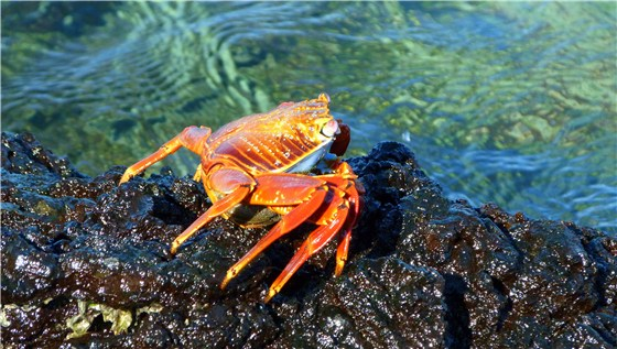 Sally light foot Crab 1