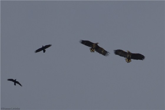 White tailed Eagles Sept 2012