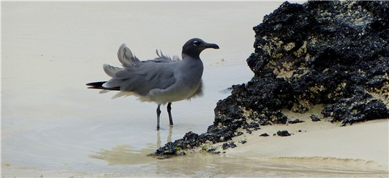 Lava Gull 2 windy