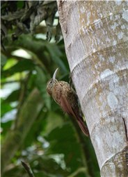 Strong billed Woodcreeper 1