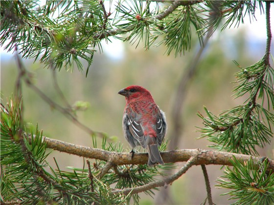 Pine Grosbeak 1