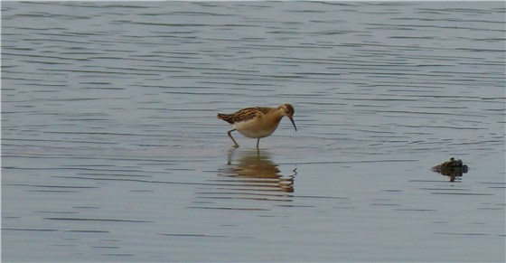 Ruff Conwy Aug