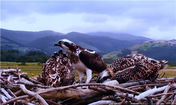 Dyfi Ospreys Aug 2013