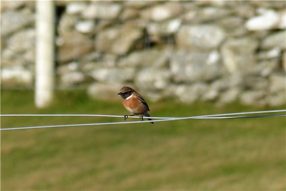 Stonechat South Stack November