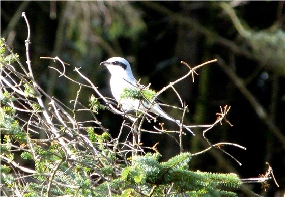 Great Grey Shrike 1