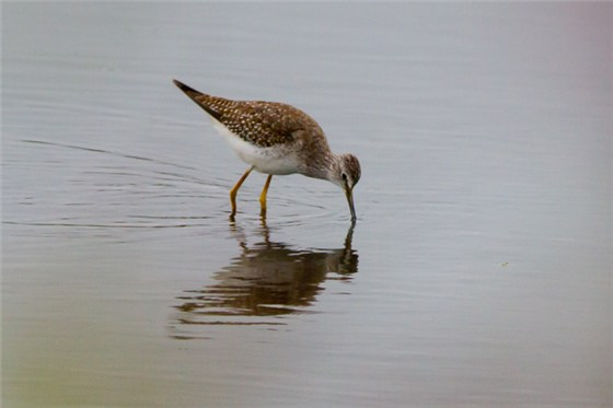 Lesser Yellowlegs Lancs 2