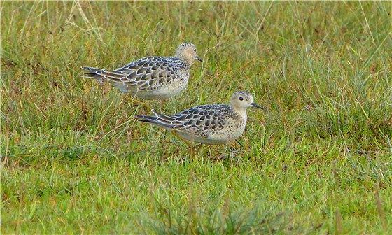 Buff breasted Sandpipers 1