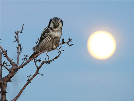 Hawk Owl Germany 5