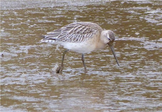 Norfolk Bar tailed Godwit