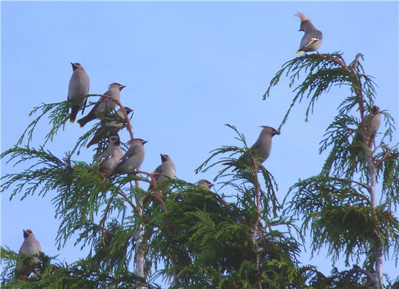 Waxwing two