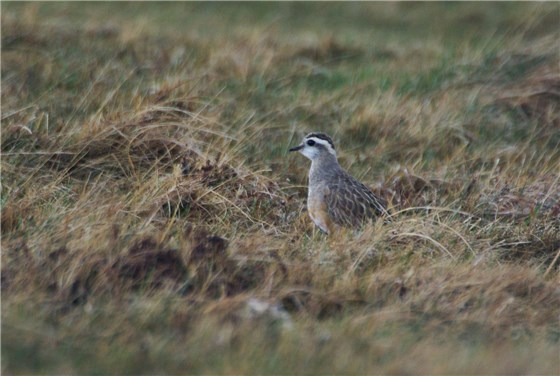 Dotterel Great Orme