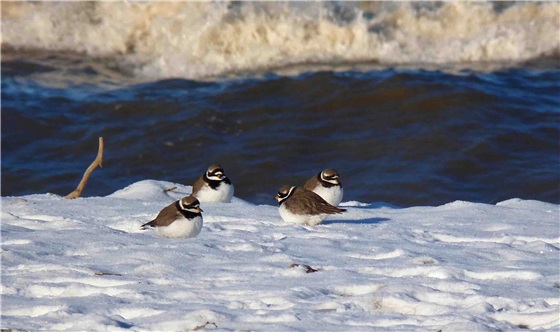 Ringed Plover on the beach